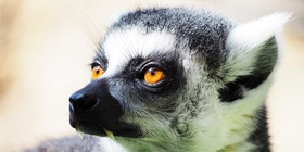 Ring-Tailed Lemur, Lemur, Endangered Animals, Wild Animal Volunteers